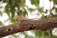 Wild garden lizard on tree. Wild agamid lizard with black spot on neck found widely in Asia Stock Photo
