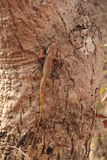 Wild garden lizard on tree. Wild agamid lizard with black spot on neck found widely in Asia Stock Photography