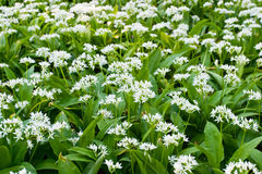 Wild garlic Stock Photography