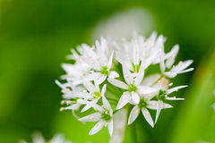 Wild garlic. Ramsons (Allium ursinum) (also known as buckrams, wild garlic, broad-leaved garlic, wood garlic or bear's garlic) is a wild relative of chives Stock Photography