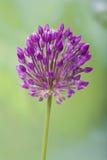 Wild garlic. On a background of green grass stock photo