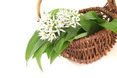 Wild garlic Royalty Free Stock Photography
