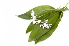 Wild garlic. Fresh Wild garlic with flowers on a white background royalty free stock photo