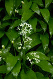 Wild Garlic. Against a wet leaf background stock photo