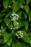 Wild Garlic. Against a wet leaf background Stock Photo