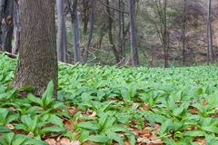 Wild garlic. Tree trunk and wild garlic field in the forest Royalty Free Stock Images