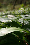 Wild Garlic. Ramson in the woods lit by the evening sun Stock Photo