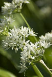 Wild garlic. Macro shot of the flower of wild garlic, taken in woodlands in british springtime royalty free stock photography