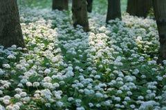 Wild garlic. Carpet in forest Stock Image
