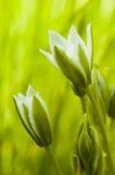 WILD GARLIC (ALLIUM URSINUM) Royalty Free Stock Photo