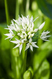Wild garlic (Allium ursinum) Stock Images