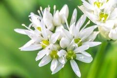 Wild Garlic (Allium ursinum) blossom at spring closeup Royalty Free Stock Images