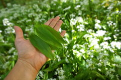 Wild garlic - Allium ursinum. Foraging wild garlic in killarney ireland Royalty Free Stock Image