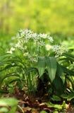 Wild garlic Allium ursinum Royalty Free Stock Image
