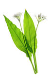 Wild garlic. (Allium ursinum) isolated against white background Stock Image