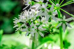Wild garlic, bear garlic Allium ursinum flower with insect Royalty Free Stock Photo