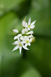 Wild garlic blooms in dorset woodland. Wild garlic flowers bloom in dorset countryside as spring warms up stock image