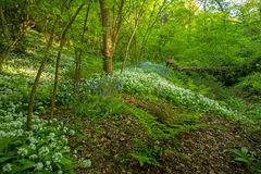 Wild garlic and bluebell carpet in the forest. Ancient English forest floor carpeted in wild garlic and bluebells Royalty Free Stock Photo