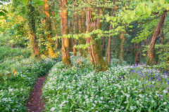 Wild Garlic and Bluebells. In woodland near Camborne in Cornwall Stock Photography
