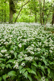 Wild Garlic Royalty Free Stock Photos