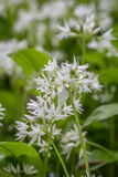 Wild Garlic in cornwall england uk Royalty Free Stock Photography