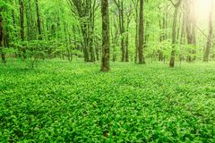 Wild garlic in deep forest. White flowers of the ramsons or wild garlic in the deep forest Stock Images