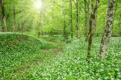 Wild garlic in the deep forest. Stock Photo