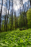 Wild garlic field and trees Stock Photos