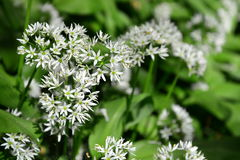 Wild Garlic flower Royalty Free Stock Photography