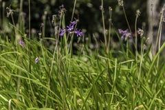Wild garlic flower Royalty Free Stock Images
