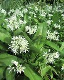 Wild Garlic Flowering. Wild Garlic, Allium ursinum, (Ransoms), flowering in the spring, growing in a natural woodland setting Stock Photos