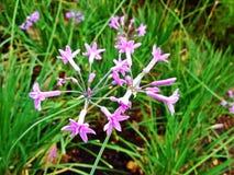 Wild garlic flowers Stock Image