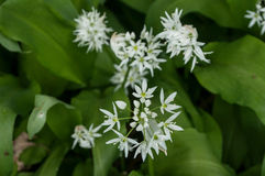 Wild garlic flowers in the forest Royalty Free Stock Image