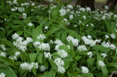 wild garlic flowers in the forest Stock Photography