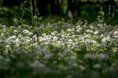 Wild garlic flowers in the old forest Royalty Free Stock Images
