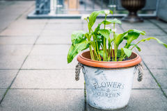 Wild garlic in flowers pot on balcony, outdoor. Cultivation of kitchen herbs Stock Photos