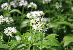 Wild garlic Stock Photos