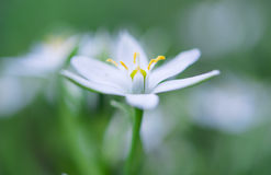 Wild garlic flowers at springtime Royalty Free Stock Photos