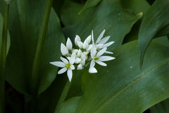 Wild Garlic Flowers Stock Images
