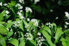 Wild garlic flowers Royalty Free Stock Image