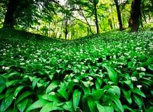 Wild garlic forest Stock Photos