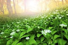 Wild garlic forest Stock Image