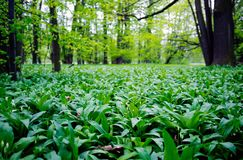 Wild garlic in a forest Stock Photos