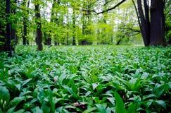 Wild garlic in a forest Stock Photos
