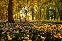 Wild garlic. In the forest Stock Images