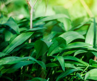 Wild garlic in forest , bears garlic leaves in forest - Allium u Royalty Free Stock Image