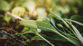Wild garlic in forest , bears garlic leaves in forest - Allium u Stock Photo