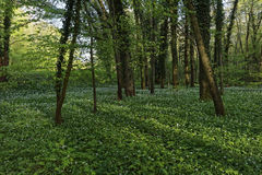 Wild garlic. In forest closeup royalty free stock photos