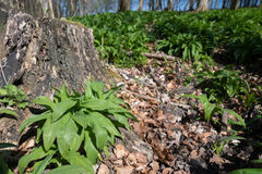 Wild garlic. In the forest floor near a old stump Stock Images