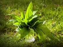Wild garlic. Fresh wild garlic Allium ursinum Royalty Free Stock Image